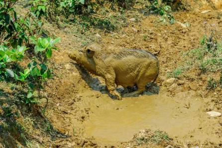 Wild Boar Mud Bath