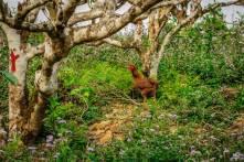 Chicken Stroll