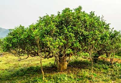 Wild Tea Tree