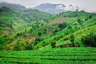 Tea Farm On The Road To Suoi Giang