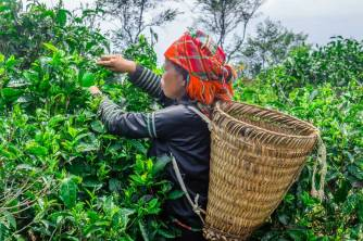Tea Harvest, Suoi Giang
