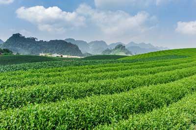 Farmed Tea